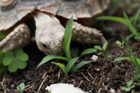 sulcata: African Spurred Tortoise (Geochelone sulcata) - macro