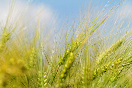 Green and yellow wheat on a grain field in spring  (macro photo) photo