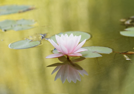 Beautiful pink water lily on the lake photo
