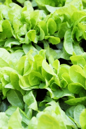 lactuca sativa: fresh raw salad - Lactuca sativa