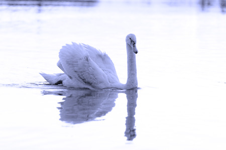 Swan in the beautiful sunset over the lake - blue tone Stock Photo