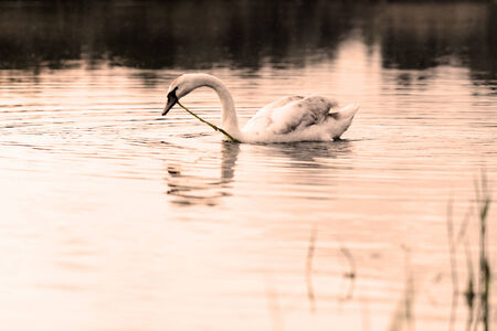 Swan in the beautiful sunset over the lake - yellow tone photo