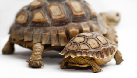 spurred: Two African Spurred Tortoise (Geochelone sulcata) isolated on white  Stock Photo
