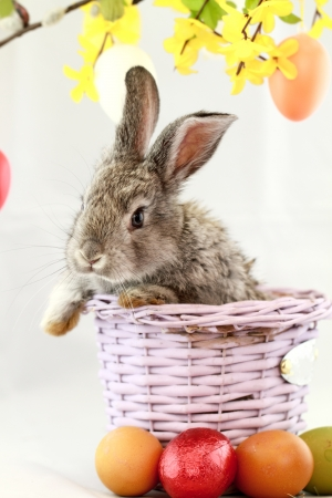 Fluffy gray rabbit in basket with Easter eggs isolated on white photo
