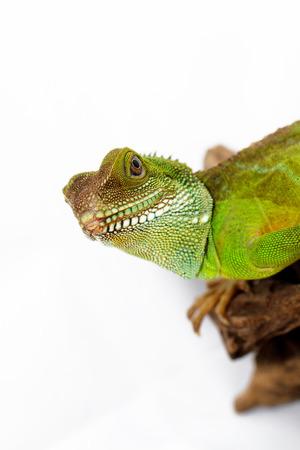 Head and face of an adult agama (Physignathus cocincinu) photo