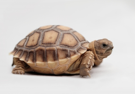 sulcata: African Spurred Tortoise (Geochelone sulcata) isolated on white background Stock Photo