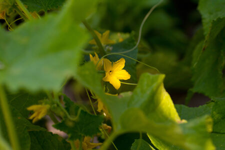cuke: Small cucumber with flower and tendrils Stock Photo