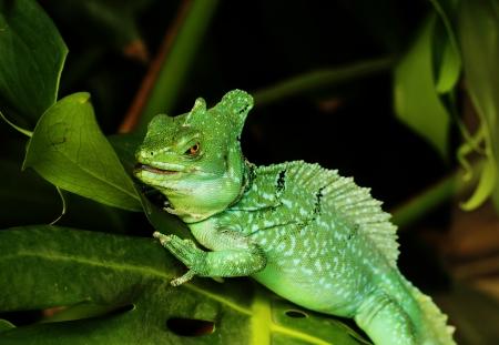 vittatus: Close up of Green Basilisk Lizard (Basiliscus plumifrons) Stock Photo