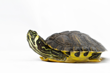 carapace: Small turtle on white background Stock Photo