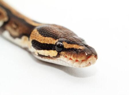 snake bite: Ball Python close up (Python Regius) Stock Photo
