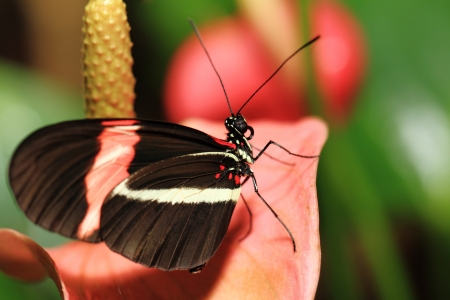 nectaring: Small Butterfly (Heliconius erato) Nectaring On Pink Flowers