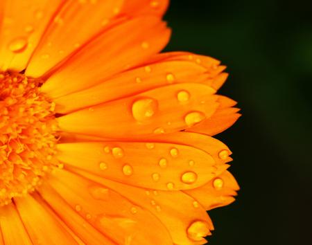 Pot marigold detail macro (Calendula officinalis) photo