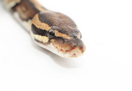 ball python: Ball Python close up (Python Regius) Stock Photo