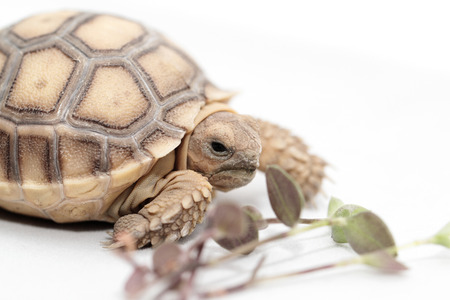 spurred: African Spurred Tortoise (Geochelone sulcata) isolated on white background Stock Photo