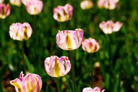 tripped: Pink tulip at spring on Earth