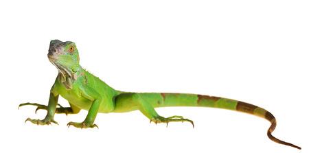 Groene leguaan (Iguana iguana) op een witte achtergrond