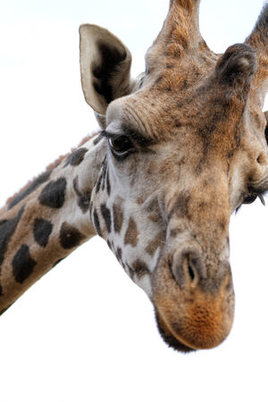 whitw: Giraffe with sad face - close up photo