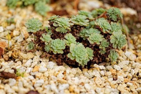 ornamentals: Close up photo of a green ornamentals