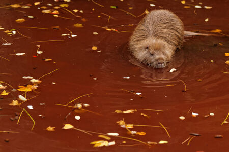 Breaver im braunen Wasser im Herbst Standard-Bild - 26922953