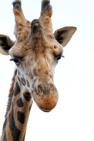 camelopardalis: Giraffe with sad face - close up photo