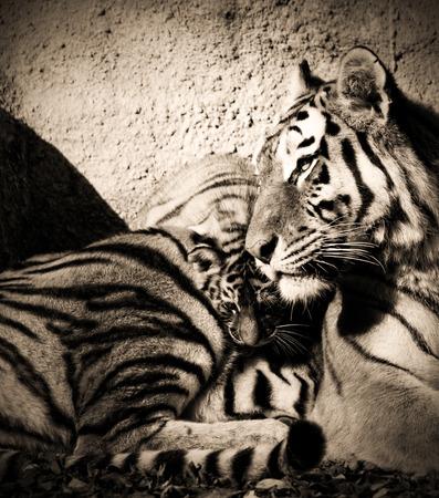 tiger cub: La maman tigre dans le zoo avec son tigre - photo s�pia