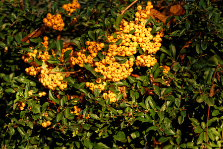 shurb: Vivid yellow rowan fruit in bunches - close up