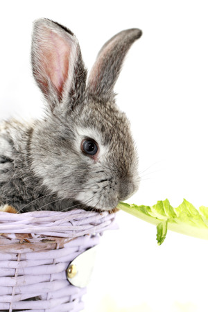 Cute gray rabbit eating the green romaine lettuce photo