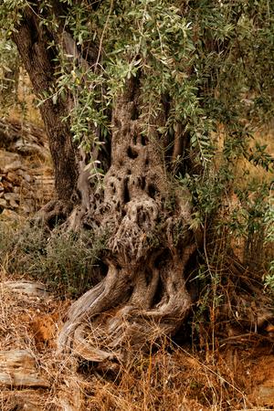 Close up photo of a beautiful olive tree Stock Photo
