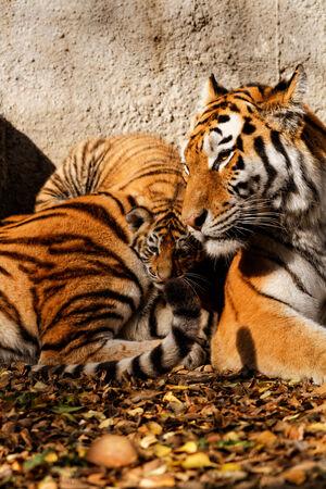 The tiger mum  photo