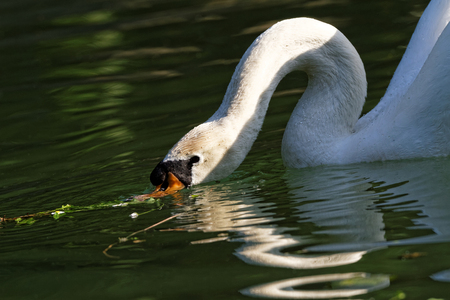 Photo of a beautiful white swan in the lake photo