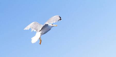 Photo of a white seagull when fly  photo