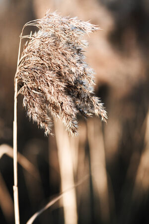 panicle: Close up photo of one yellow reed