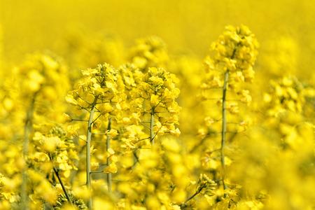 Blooming canola veld - verkrachting op het veld in de zomer
