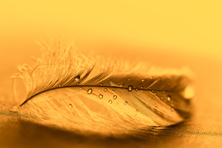 Yellow feather with water drops on dark background photo