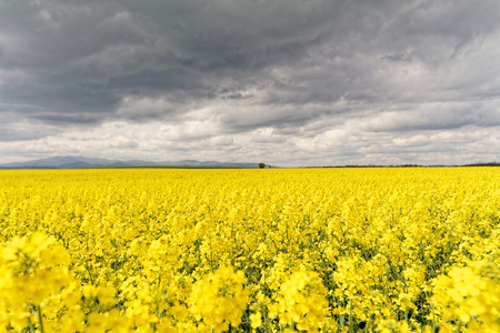 Field of rapeseed against sky with clouds photo