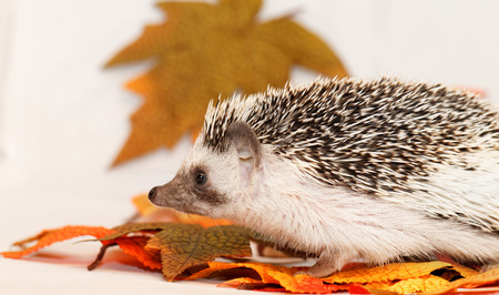 four species: African white- bellied hedgehog with autumn decoration Stock Photo