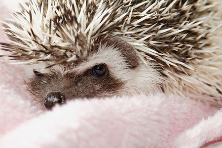 spikey: A cute little hedgehog - ( African white- bellied hedgehog )