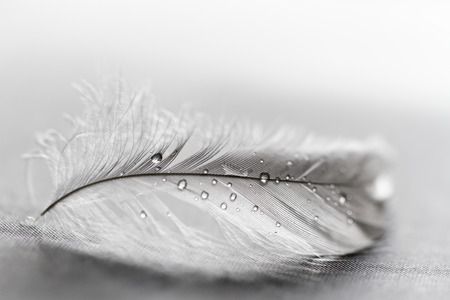 bird feathers: White feather with water drops on grey background Stock Photo