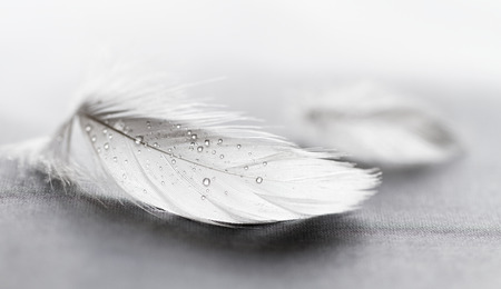 pluma blanca: Pluma blanca con gotas de agua sobre fondo gris