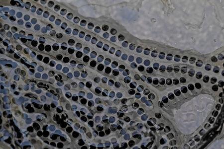 renacuajo: Cerca foto mucho renacuajo de la rana