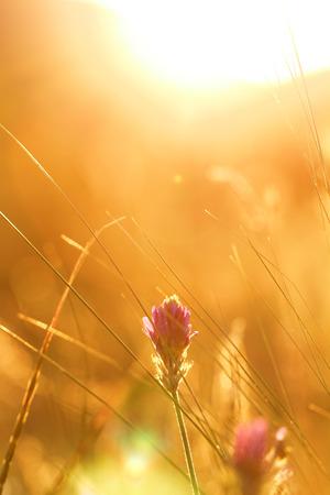 日の出自然背景にソフト ピンク草原の花 写真素材