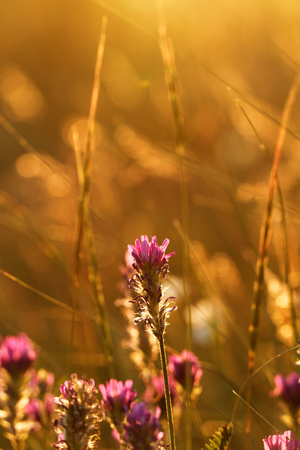 Soft pink meadow flower on sunrise nature background photo