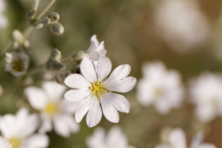 cerastium tomentosum: White rock flower garden edging - close up photo Stock Photo