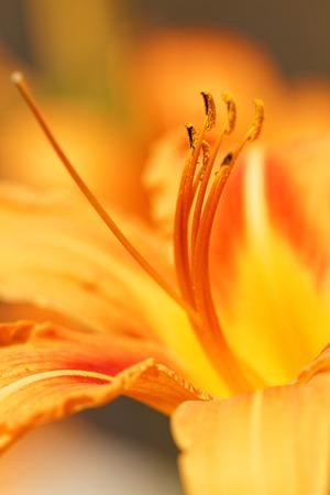 orange lily: Beautiful macro photo of an orange lily