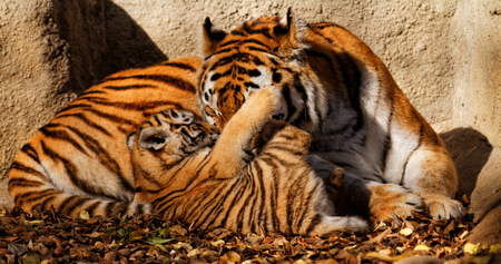 tigre cachorro: La mam� tigre en el zool�gico con su cachorro de tigre - foto soleado