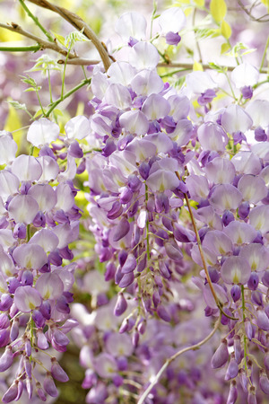 wistaria: Close up photo of the beautiful wistaria