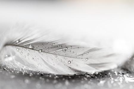 灰色背景: 水と白い羽毛灰色の背景上にドロップします。