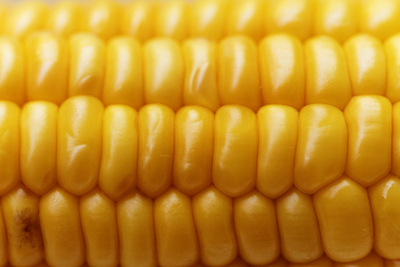 feedstock: An ear of ripe corn - macro photo