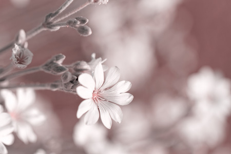 cerastium tomentosum: White rock flower garden edging - close up photo Stock Photo