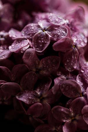 waterdrops: Beautiful macro photo of the beautiful purple lilac with waterdrops